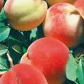日本一の桃とぶどう
